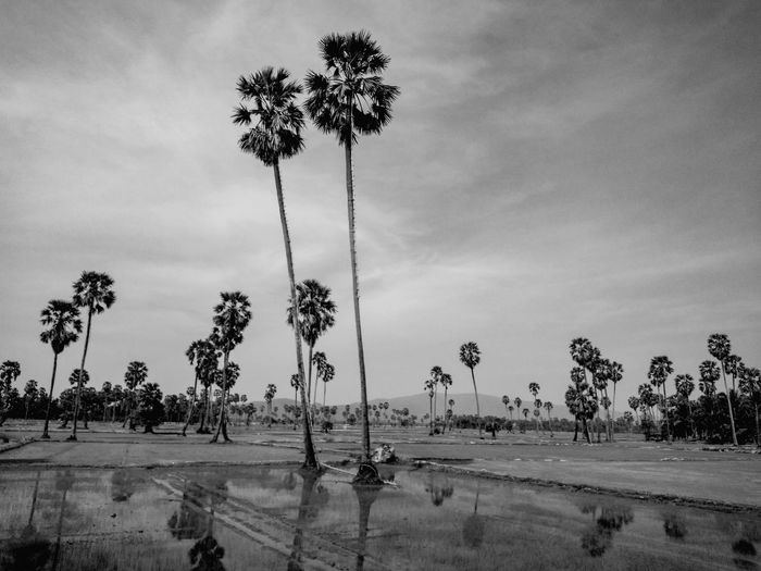 Palm fields Oil Pump Tree Palm Tree Water Sky Landscape Cloud - Sky Flood Torrential Rain Rice Paddy Tranquil Scene Tranquility Flamingo Calm Countryside Rice - Cereal Plant Terraced Field Asian Style Conical Hat Hurricane - Storm Cyclone Cumulonimbus Sand Dune Extreme Weather Arid Climate Arid Landscape