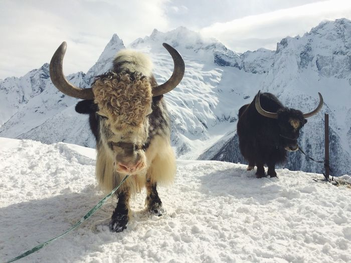 Yaks standing on landscape during winter