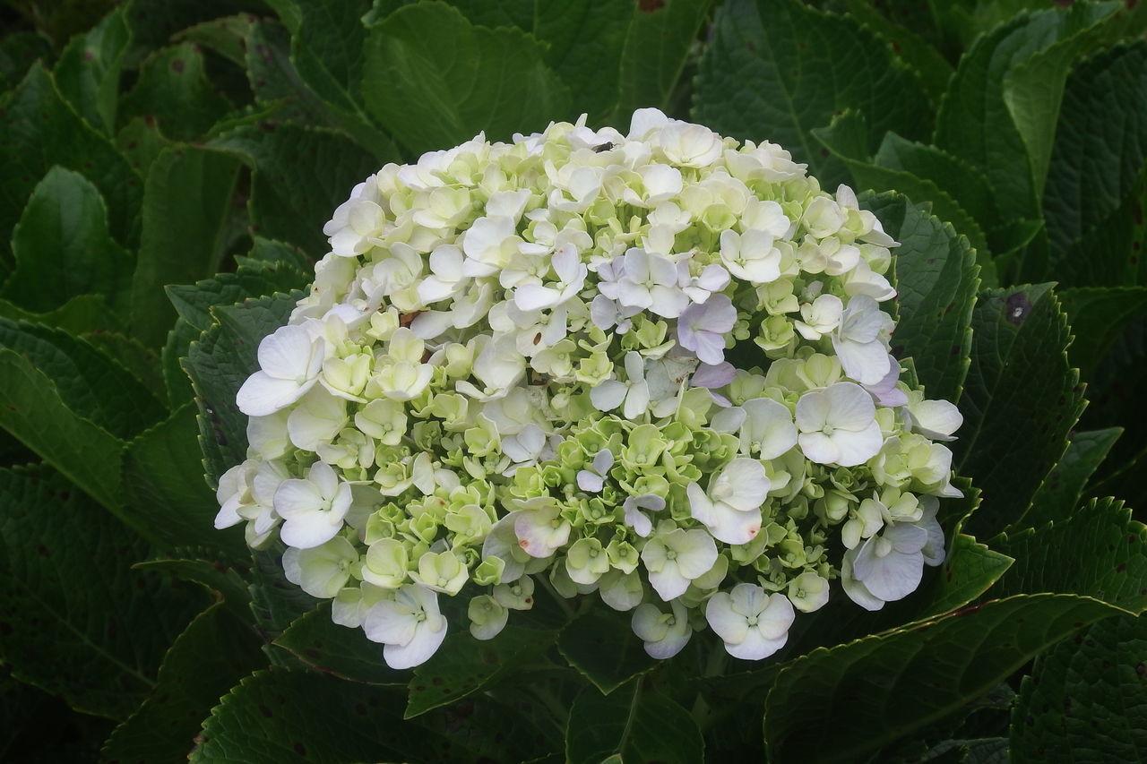 CLOSE-UP OF WHITE HYDRANGEA ON PLANT