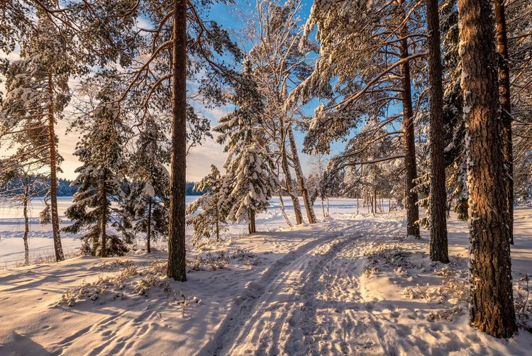 Scenic winter landscape with idyllic forest at bright sunny morning in Finland. Snow Cold Temperature Winter Tree Tranquility Landscape Tranquil Scene Scenics - Nature White Color Environment Beauty In Nature Forest Tree Trunk Blizzard Pine Woodland WoodLand Snowing Nature Road No People Pathway Finland Blu Sky WoodLand Morning Light