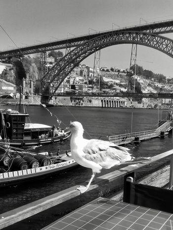 B&w Black & White Blackandwhite Blackandwhite Photography Curiosity Seagull Boat Bridge Ponte Luis I River Riverside Douro River Port Wine Porto Vila Nova De Gaia Portugal