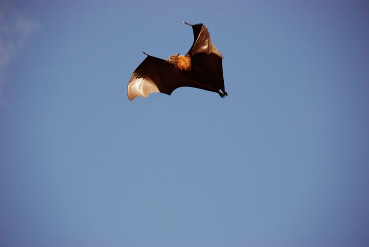 Clear Sky Flying Flying Fox Furry Sydney Sydney, Australia Zoology