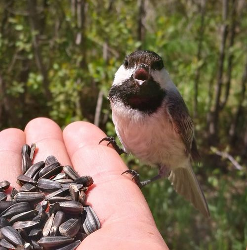 a wee chat over lunch Hand Chickadee Hand Feeding Seeds Bird Seed Wild Animals Up Close EyeEm Selects Human Hand Bird Pets Bird Of Prey Holding Close-up Personal Perspective Beak Perching Animal Eye Sparrow Low Section Cropped
