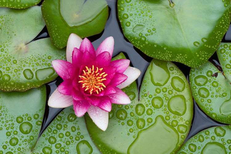 Beautiful pink waterlily or lotus flower in pond Beautiful Calm Green Color Lily Nature Nature Photography Relaxing Waterlily Backgrounds Beauty Beauty In Nature Blooming Blossom Botanical Close-up Drop Flora Flower Lake Lotus Lotus Water Lily Oriental Pink Color Water Zen