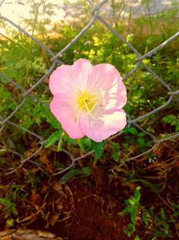 Flower Pink Color Fragility Nature Petal Plant Growth Flower Head Outdoors No People Beauty In Nature Close-up Freshness Day The Great Outdoors - 2017 EyeEm Awards