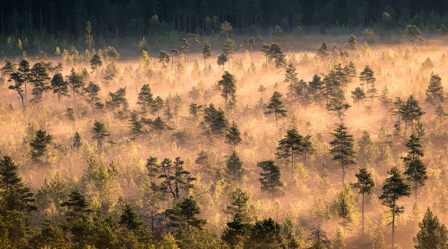 Morning fog and sunrise in Torronsuo National Park, Finland Background Finland Fog Foggy Morning Forest Haze Landscape Light And Shadow Mire Mist Misty Morning National Park Nature Peaceful Pine Scenery Summer Sunlight Sunrise Swamp Tranquil Scene Tree Trunk WoodLand The Week On EyeEm Been There.