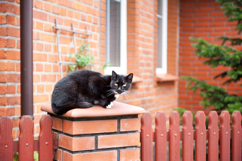 One lonely stray black cat sitting on fence in front of house. Wary animal sitting calm and watching around, fence and house building of red bricks and wooden decorative boards, photo taken in Poland. Horizontal orientation. Animal Black Brick Wall Bricks Cat Domestic Domestic Animals Domestic Cat Feline Fence Hoarding Homeless Nobody Pet Ramble Roam Rove Sitting Straggler Stray Stray Cat Vagrant Waif Wander Wary