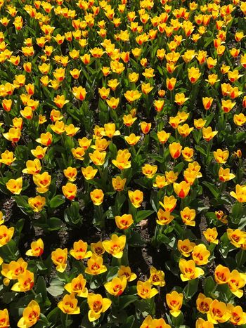 Tulips Tulip Yellow Tulips Flower Fragility Beauty In Nature Yellow Nature Growth Freshness Petal Flower Head Plant Outdoors No People Field Backgrounds Blooming Day Close-up