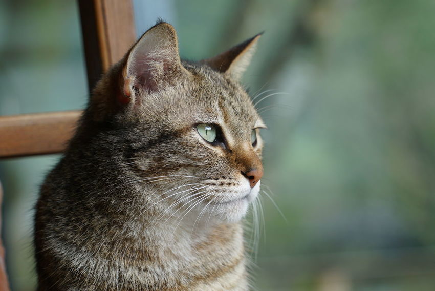 Cat's gaze Cat's Gaze Animal Themes Cat Eyes Close-up Day Domestic Animals Domestic Cat Feline Focus On Foreground Gaze Mammal No People One Animal Outdoors Pets Whisker