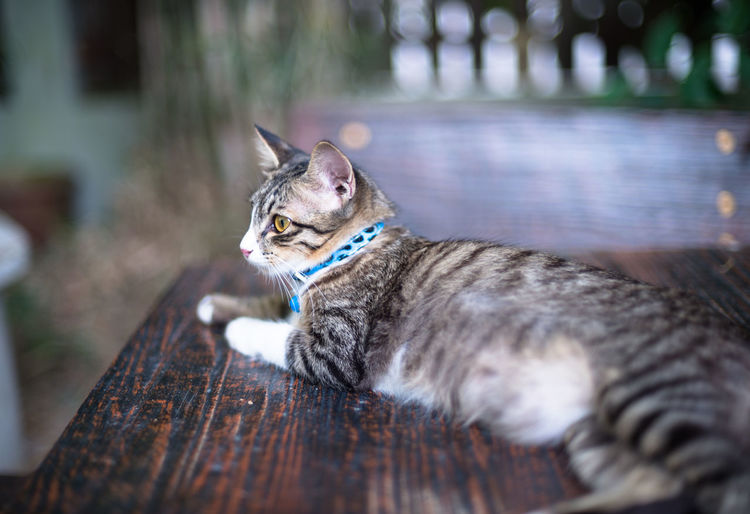 female cat on the wooden table Animal Themes Close-up Day Domestic Animals Domestic Cat Feline Mammal No People One Animal Outdoors Pets Wood - Material