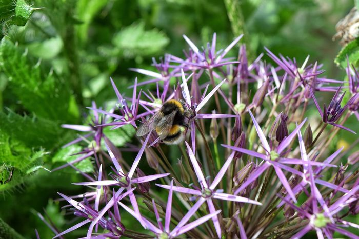 Bumblebee Insect Purple Nature Flower Day No People Close-up Bee Plant Pollination Fragility Flower Head Freshness Outdoors Growth Plant One Insect Wings Petal Beauty In Nature Summertime Freshness Focus On Foreground Buzzing