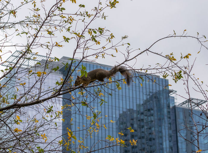 An Eastern fox squirrel on a thin branch in Austin, Texas. Austin, TX Squirrel Texas Animal Animal Themes Animal Wildlife Animals In The Wild Branch Building Day Eastern Fox Squirrel Low Angle View Nature No People One Animal Outdoor Outdoors Park Plant Rodent Sky Tree Vertebrate