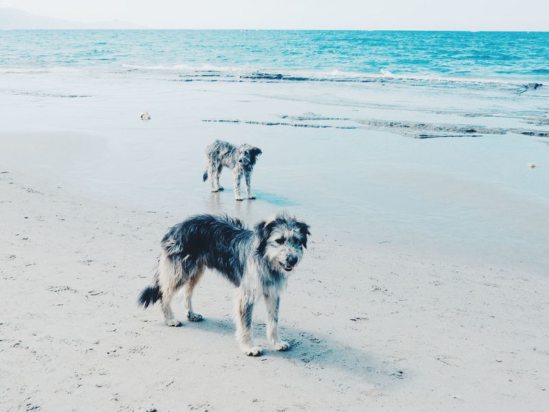 Beach dogs Animal Themes Beach Beauty In Nature Day Dog Domestic Animals Horizon Over Water Mammal Nature No People Outdoors Pets Sand Scenics Sea Shore Sky Tranquil Scene Tranquility Water Dogs Dogslife Petsofeyeem Beach Dog Animal