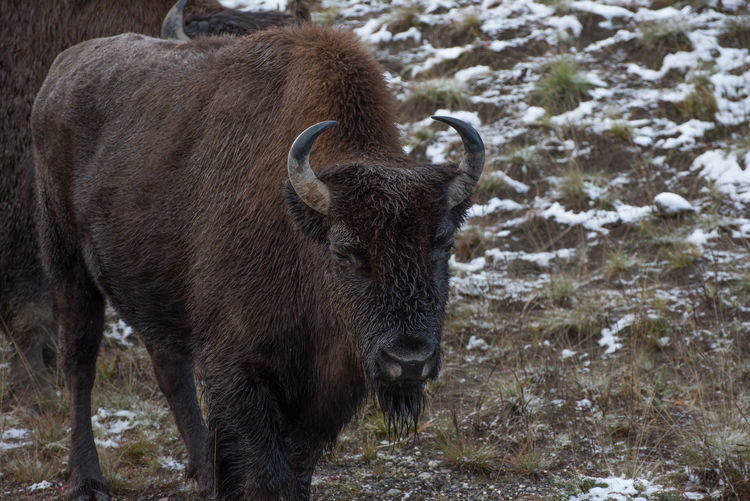 View Of Bison At Field