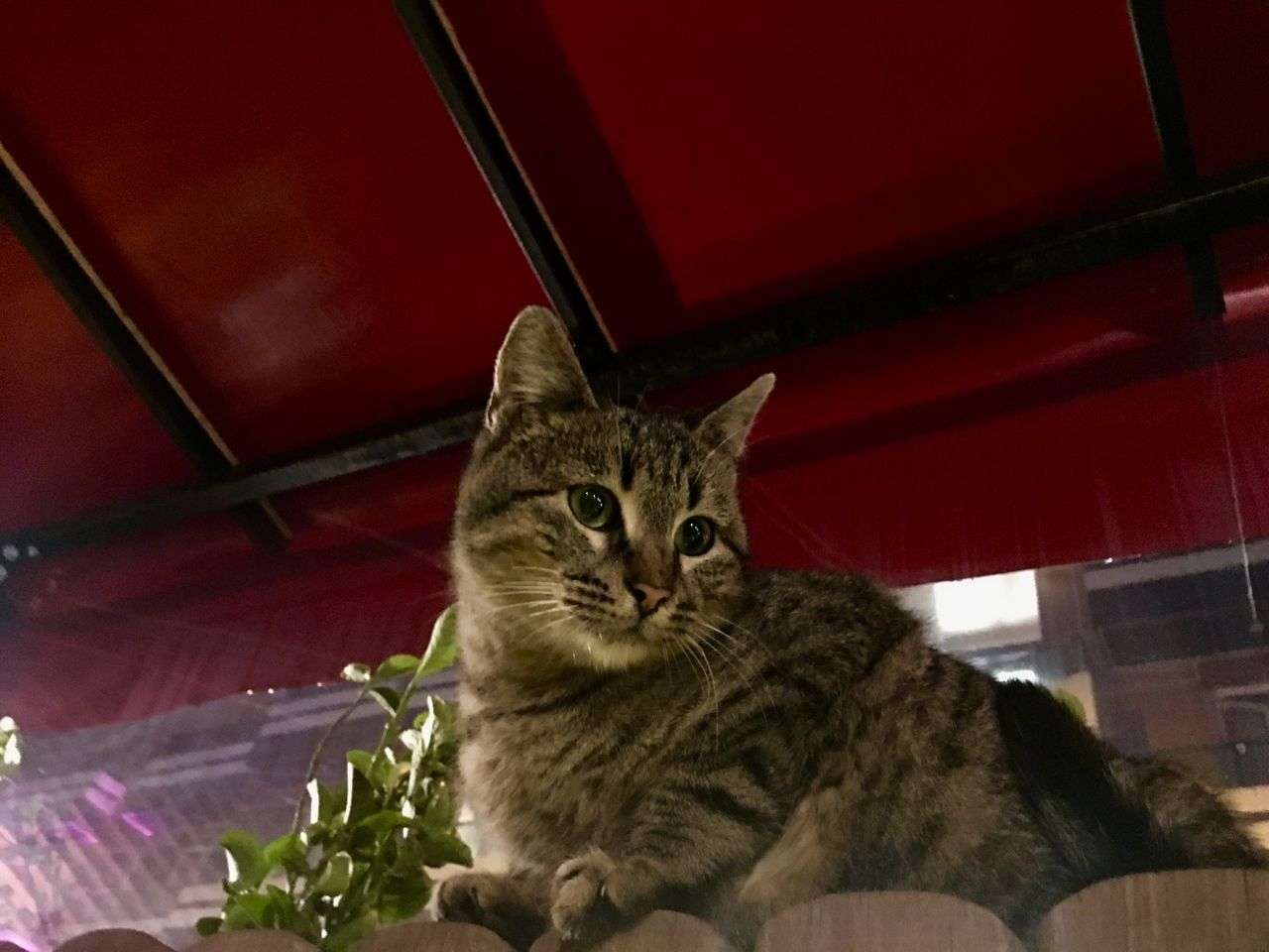 cat, pets, domestic animals, feline, domestic, domestic cat, one animal, mammal, vertebrate, indoors, no people, looking at camera, relaxation, portrait, home interior, sitting, whisker, tabby