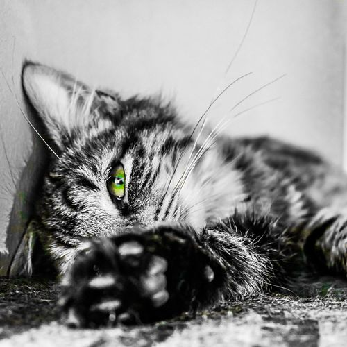 Shamrock Eyes Green Colour Splash Portrait Canon DSLR Edited On IPhone Fur Paw Face Eye Eyes Kitten Cat Portrait Looking At Camera Close-up One Animal Domestic Cat Animal Themes No People Indoors  Mammal Day