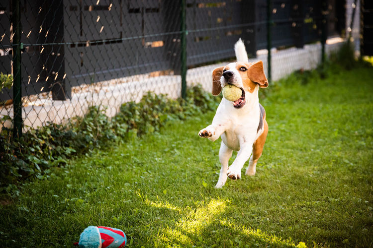 Dog playing with a ball in a garden. playful retrieving ball back very happy and fit.