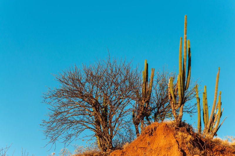 Bare tree and saguaros on rock at tatacoa desert against clear blue sky