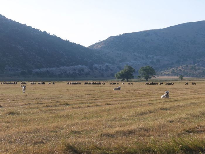 Albania Albania Tour Cajupi Gjirokaster Animal Themes Beauty In Nature Day Domestic Animals Field Grass Grazing High Plateau Landscape Large Group Of Animals Mammal Mountain Mountain Range Nature No People Outdoors Sheep Sheepdog Sky Tranquil Scene Tranquility Lost In The Landscape