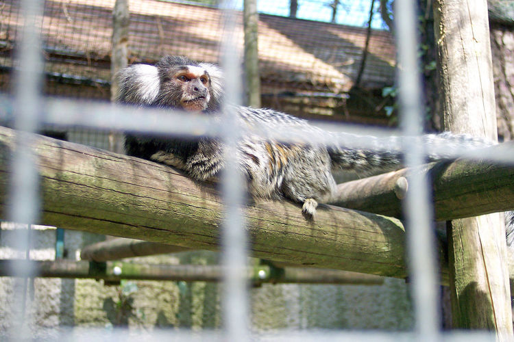 Ash Coat Marmoset Monkey With White Hear White Forehead White Front One Animal One Monkey Callithrix Callithrix Jacchus AnimalIn Captivity Singe En Cage Singe Oreilles Blanches White Eared Marmoset Premium Collection -In France