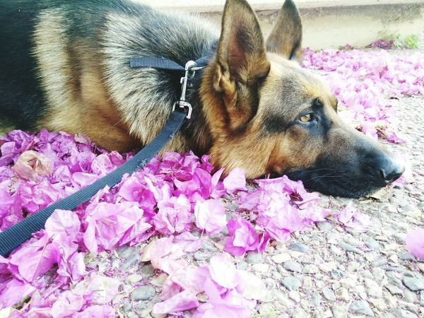 Germanshepherd немецкая овчарка Dog Beautiful Flowers Purple Tired Shepherd