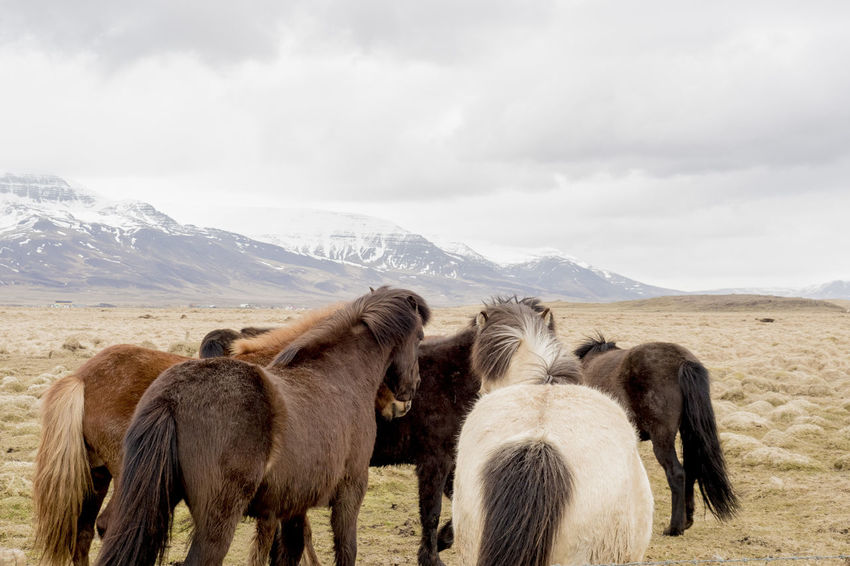 Iceland Iceland Pony Animal Themes Animals In The Wild Beauty In Nature Cloud - Sky Cold Temperature Day Domestic Animals Field Horse Landscape Large Group Of Animals Livestock Mammal Mountain Mountain Range Nature No People Outdoors Scenics Sky Snow Togetherness Winter