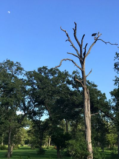 Vulture Bird Tree Dead Tree Moon Day Nature Outdoors