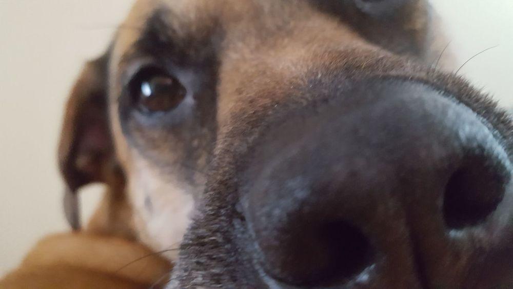 One Animal Close-up Dog Portrait Looking At Camera Headshot Dog Snout Pets Brown Dog Eyes Dog Photography Dog Life Dog Portrait Up Close The Week On EyeEm Pet Portraits