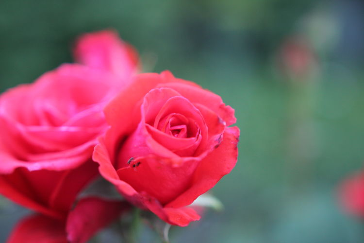 Rose garden Beauty In Nature Blooming Close-up Day Flower Flower Head Fragility Freshness Garden Garden Flowers Garden Photography Growth Nature No People Outdoors Petal Plant Red Rose - Flower