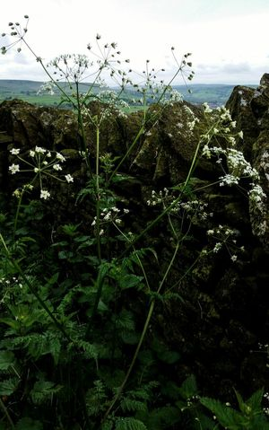 Cowparsley Wildflowers. Countrylanes Wildflowers In Bloom Drystonewalls Drystonewall Countrylandscapes Drystone Wall Countryside Landscape Botany Cream Colored Nature Flowerphotography Petal, Petals, Leaf, Leaves, EyeEm Nature Lover Low Angle View Springtime Botany, Freshness Rain Growth Conservation Still Life Photography Beauty In Nature Fragility