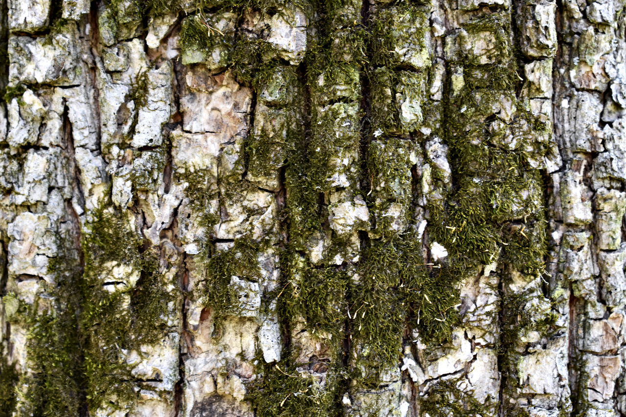tree, plant, tree trunk, trunk, full frame, backgrounds, textured, growth, day, no people, nature, close-up, rough, outdoors, beauty in nature, land, pattern, forest, moss, tranquility, bark, lichen, textured effect