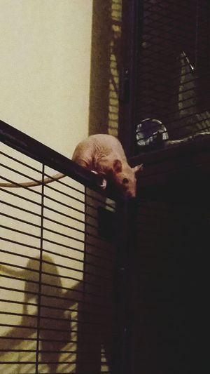 Hairlessrat Rattie Rodent Furless Babies
