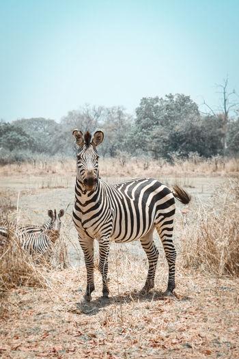 Portrait of zebra standing on field