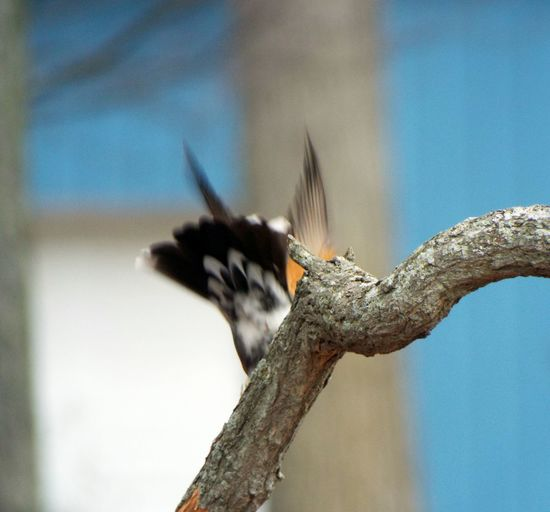 catching flight Animals In The Wild Animal Themes Animals In Action Photography In Motion Bird Catching Flight Bird Birds In Flight Organic Check This Out Birds Wildlife Tree Branches