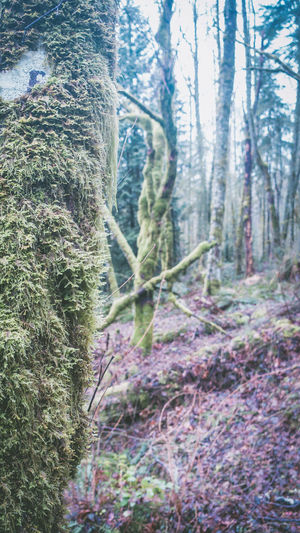 Hike around Seattle, Tiger West Trail #3, Forest, 2017, USA, Julie Gatto Cloudy Cold Enjoying Life Foggy Forest Forest Photography Green Growth Hike Julie Gatto Landscape Misty Moss Nature No People Outdoors Pine Trees Tree Winter