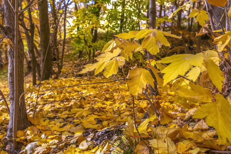 Close-up of yellow autumn leaves in forest