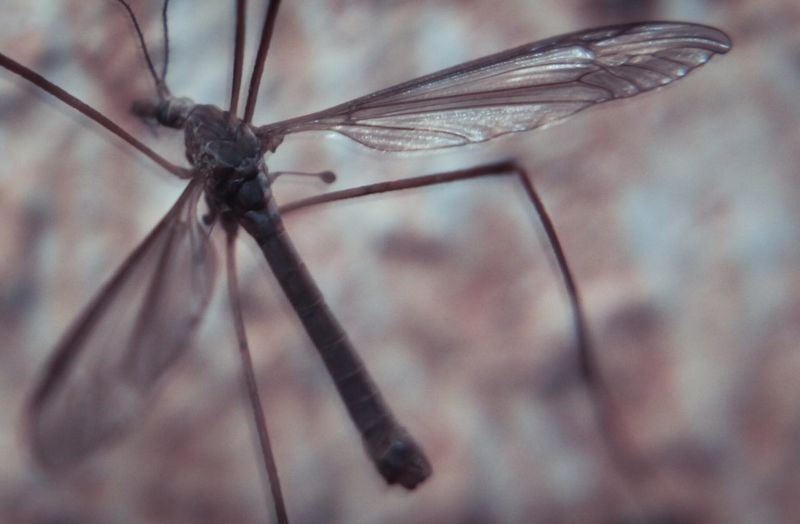 Wall Mayfly Fly Close-up Invertebrate Insect Animal Animal Themes Animal Wildlife Animals In The Wild One Animal Focus On Foreground Animal Wing Selective Focus No People Nature Outdoors Animal Body Part Mosquito Day Animal Leg