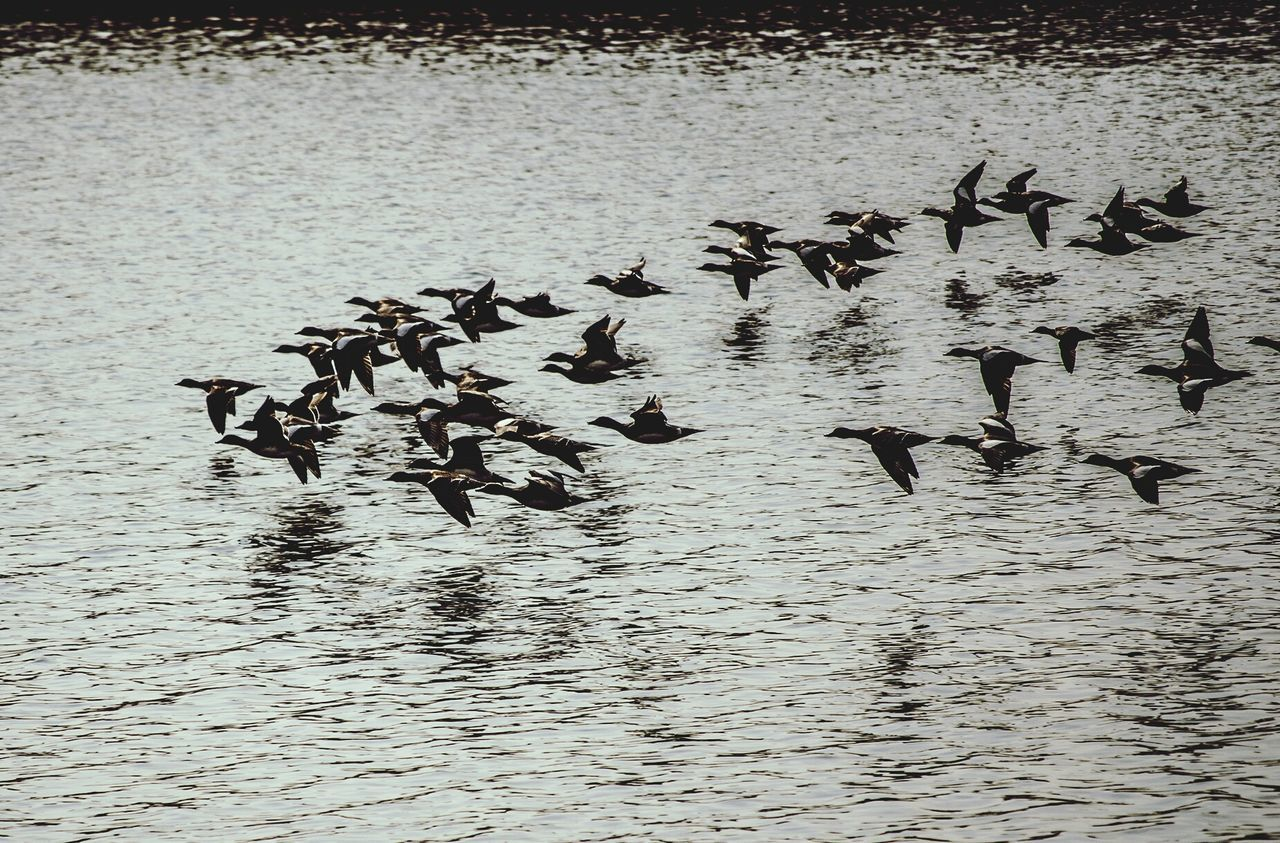 Flock on birds flying over lake