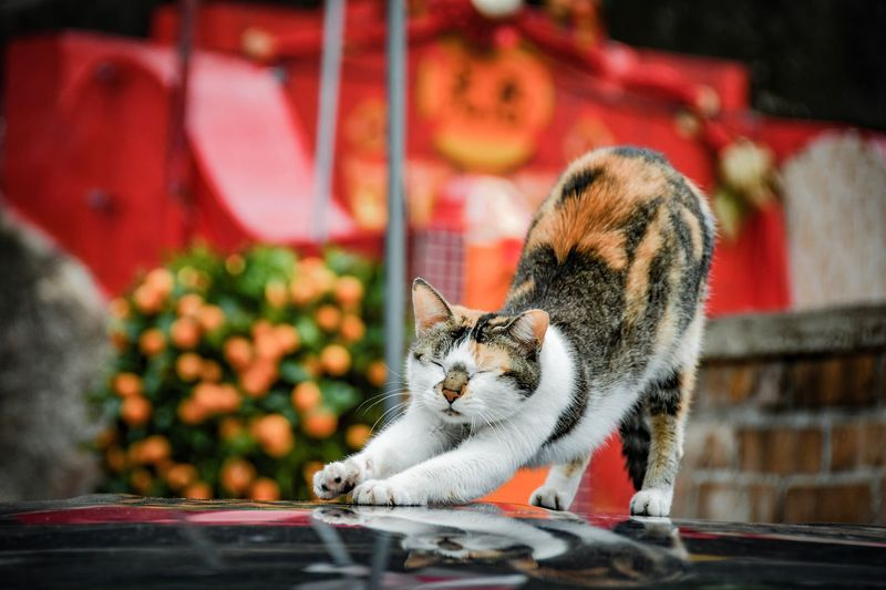Mandarin cat Stretching Cat Stretching China Hong Kong Chinese New Year Relaxing Time Relaxing Relax Sleeping Cat Sleepy Three Color Cat Street Cat Chinese Chinese Cat  Red Background Mandarin Mammal Animal Themes Pets Cat Animal Feline One Animal Domestic Animals Domestic Cat Relaxation Whisker