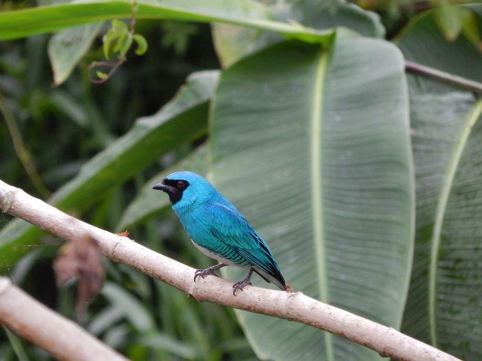 Animal Wildlife Bird Bird Photography Blue Bird Nature No People Saí-Andorinha Tersina Viridis