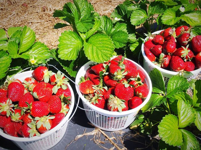 Strawberries Buckets Of Strawberries U Pick Grow Your Own Food Organic Strawberry Picking Strawberry Field Red Strawberry Plants Pick Your Own Fruit Berry Picking Berries Berries Collection Sustainable Living Sustainable Resources Delicious Mouthwatering