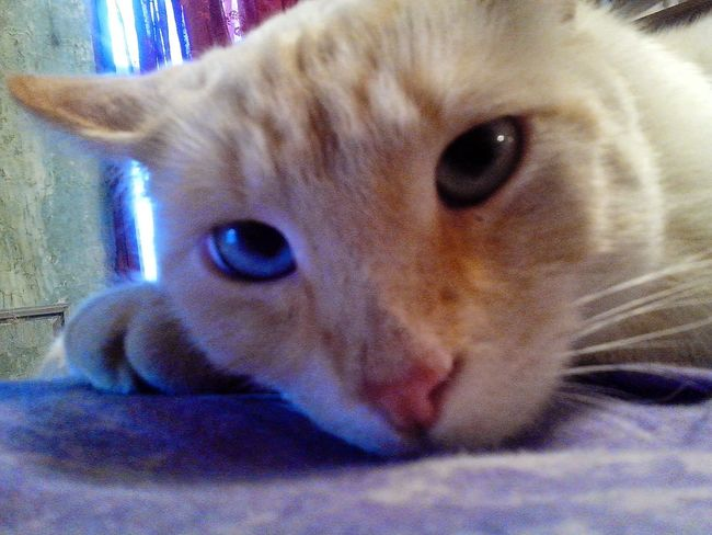 Relaxing Enjoying Life Trying To Sleep Cat Photography White Cat Blue Eyes