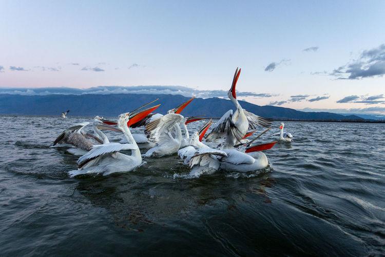 Pelicans of kerkini lake, greece