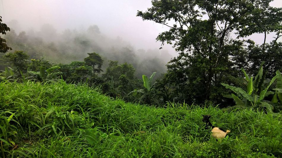 Cameroon Fog Goat Green Jungle Landscape Nature Outdoors Trees View