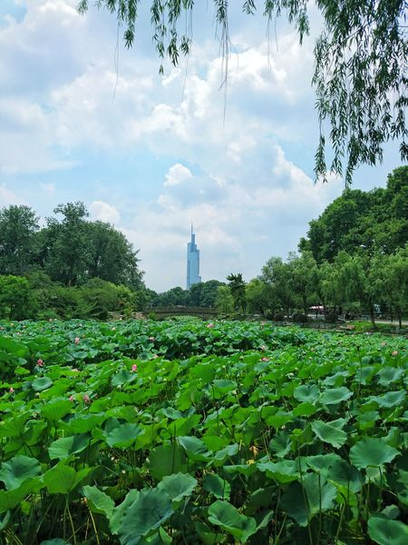 Lotus in summer Cloud - Sky Tree Sky Plant Nature Leaf Outdoors No People Building Exterior Architecture Skyscraper Landmark Lotus Water Lily Flower Green Red Sunny Park EyeEm Selects