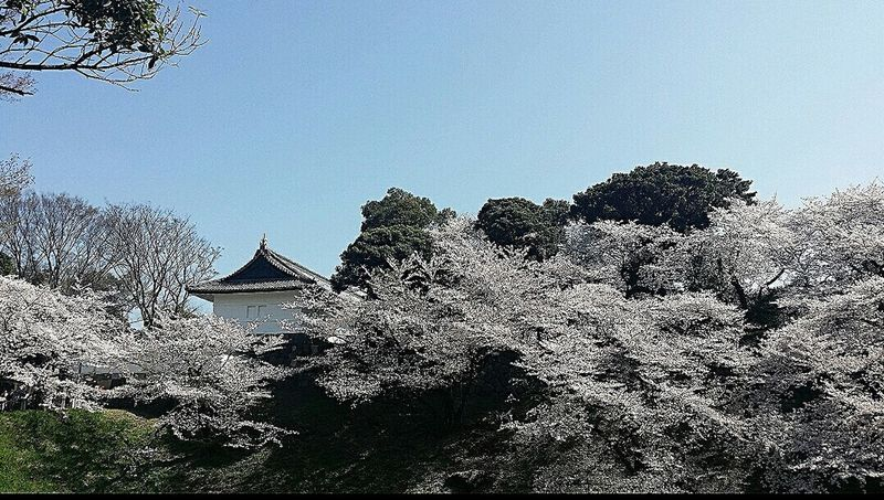 Sakura 樱花 Chidorigafuchi view from Chidorigafuchi Pedestrian Path Spring 2015 Tokyo Japan Travel Photography