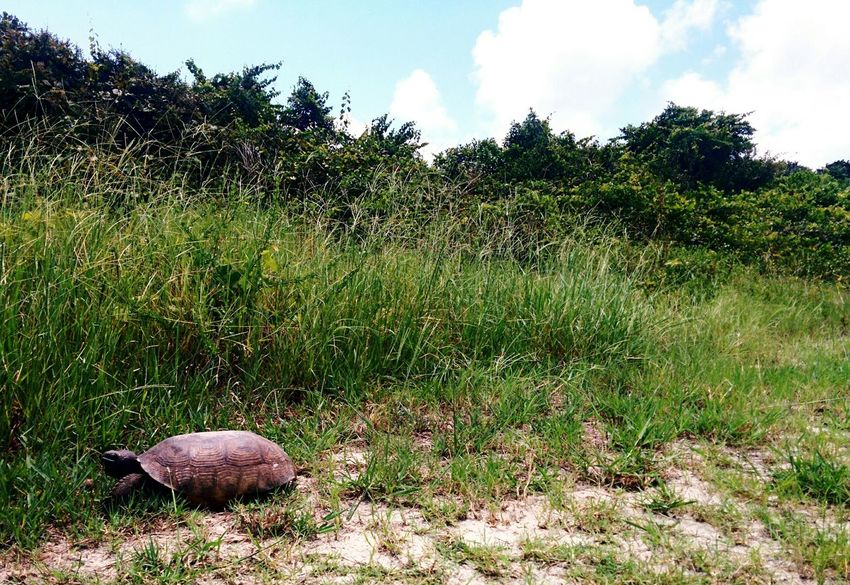 Leather Back Turtle Eating By The Side Of The Road Om Nom Nom Tall Grass