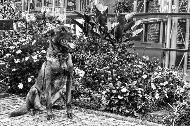 Chien Dog Domestic Animals Malinois Belgian Malinois Outdoors Day Fleurs Flowers Plantes Plants Animal Animal Themes One Animal Pets Blackandwhite Black And White Black & White Noir Et Blanc Noir Animale Companion Compagnon Noiretblanc
