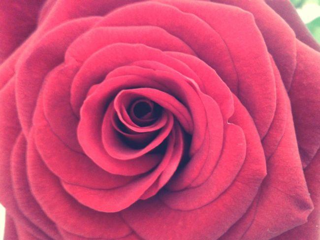 Enjoying Life EyeEm Flower Flower Collection Red Rose La Vie En Rose Love ♥ Flowerporn Flowerlovers Rose🌹 At Home :)