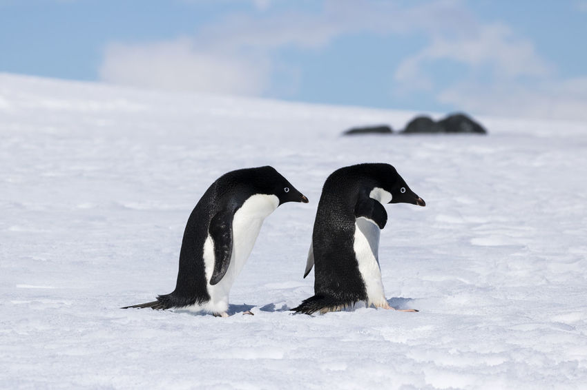 Two Adelie Penguins following each other at Mikkelson Harbour, Antarctica. Adelie Adelie Penguin Adelie Penguins Animals In The Wild Antarctic Antarctica Bird Photography Pygoscelis Adeliae Animal Photography Animal Themes Animal Wildlife Animals In The Wild Antarctic Peninsula Beauty In Nature Bird Penguin Penguin ♡ Penguins Penguins In The Snow Pygoscelis Togetherness Togetherness Friendship